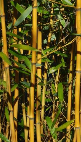 Bambus (Makroobjektiv)