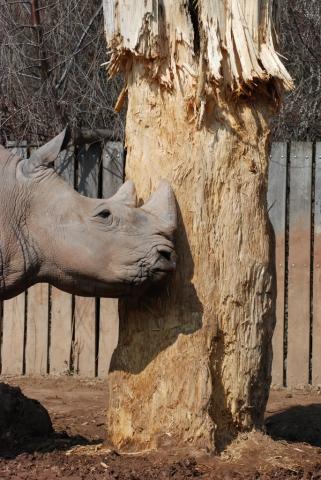 Nashorn macht Holzschnitzel