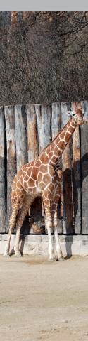 Giraffe komplett